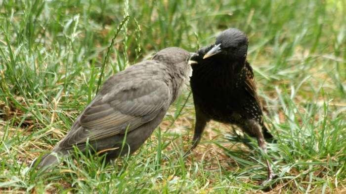 bebe oisillon etourneau sansonnet Paris parc de Bercy starling