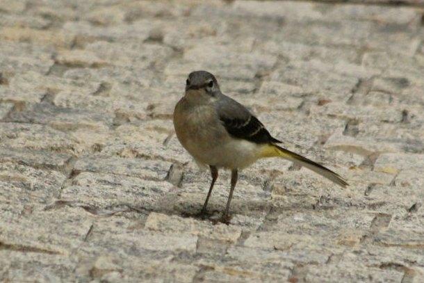 bergeronnette ruisseaux wagtail streams parc de bercy Paris bird oiseaux plume passereaux jaune blanc gris queue parisien