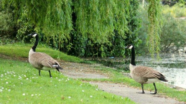bernache du canada oie lac daumesnil paris 75 vincennes goose canada