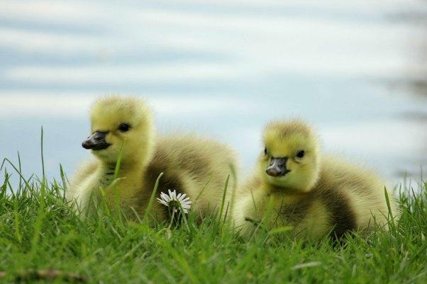 bernache du canada oie oisons lac daumesnil paris 75 vincennes goose canada
