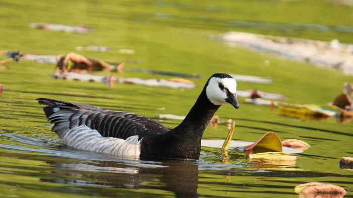 Bernache nonnette parc floral vincennes Paris barnacle goose
