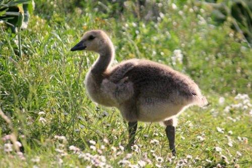Bernache du canada parc Floral Paris canada goose