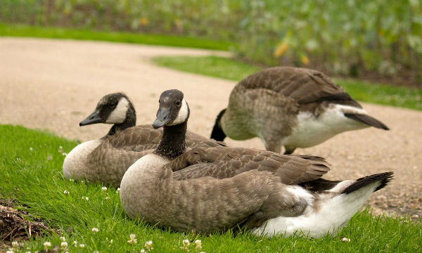 bernache du canada oie parc Floral canada goose paris vincennes