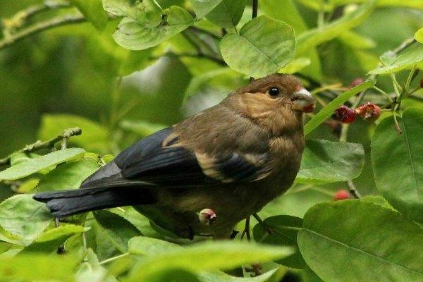 oisillon bebe bouvreuil pivoine Paris Eurasian Bullfinch