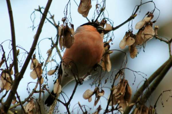 Bouvreuil pivoine Paris parc Floral Eurasian Bullfinch