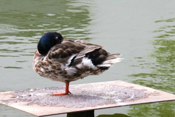 canard colvert parc de bercy paris mallard duck