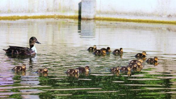 cane canard colvert cane canetons parc de bercy paris mallard cane duck duckling