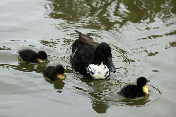 cane canard colvert et canetons parc de bercy paris  mallard cane duck