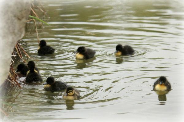 Caneton colvert canard Parc de Bercy Paris duck duckling mallard