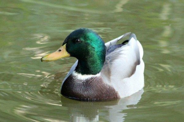 canard colvert mallard Paris parc de bercy cane duck plume oiseaux bird