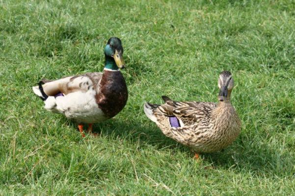 canard colvert mallard Paris parc de bercy oiseaux bird vol libre cane duck duckling plume