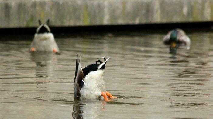 canard colvert cane canetons parc de bercy paris mallard duck duckling