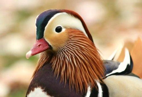 canard mandarin Paris Mandarin duck jardin acclimatation