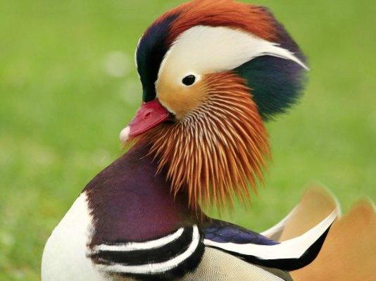 canard mandarin à Paris au jardin d`Acclimatation à Neuilly mandarin duck