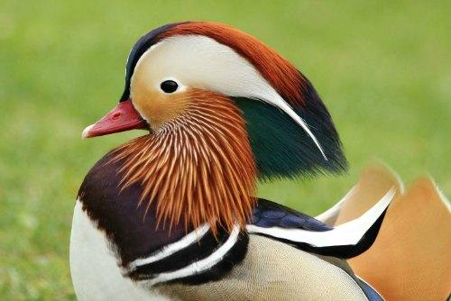 canard mandarin à Paris au parc d`Acclimatation à Neuilly mandarin duck