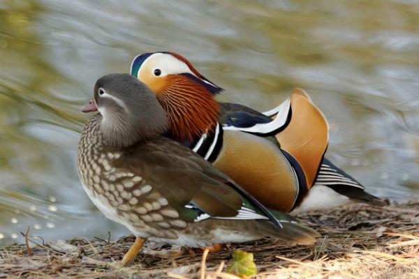 canard mandarin - duck mandarin - Vincennes
