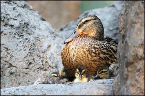 canard cane canetons colvert Paris parc de bercy mallard 75 oiseaux birds