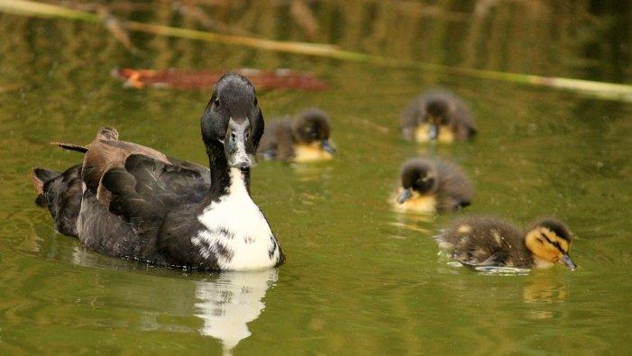 cane canard colvert cane canetons parc de bercy paris mallard duckling