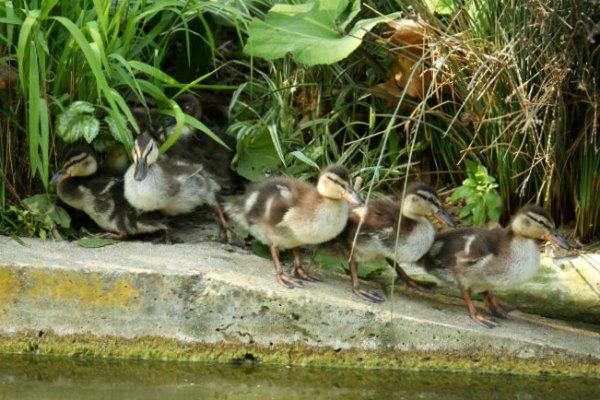 canard canetons colvert Paris parc de bercy mallard 75 oiseaux birds