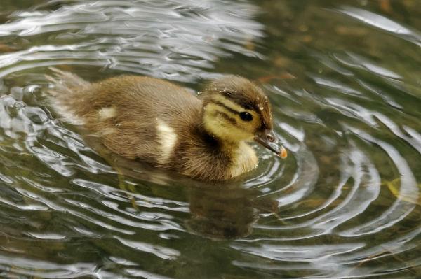 canetons canard mandarin Vincennes Paris - mandarin duck
