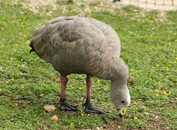 Ceréopse cendree jardin acclimatation Paris neuilly goose