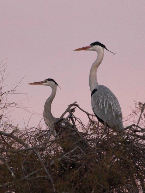 couple de héron cendré au parc ornithologique pont de Gau à Arles ash couple