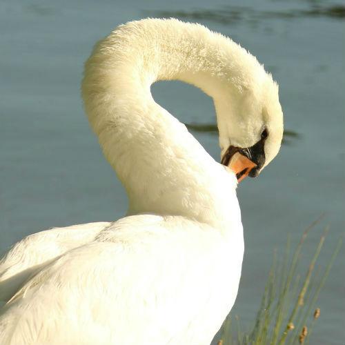 Cygne blanc tuberculé Mute Swan lac Daumesnil Vincennes Paris