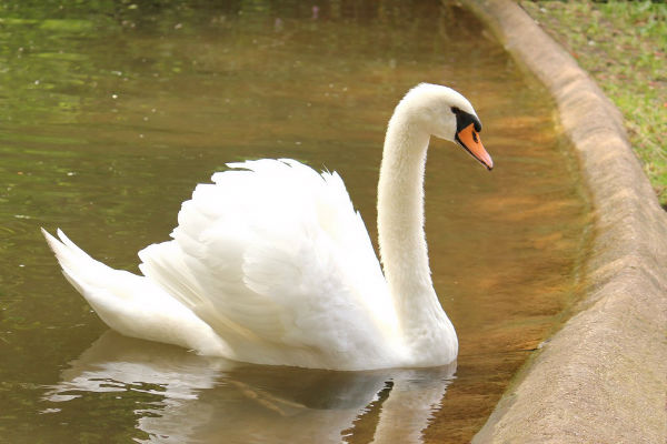 Cygne tuberculé Mute Swan lac des Minimes Vincennes Paris