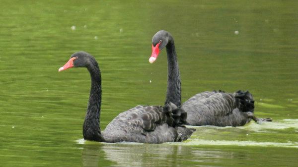 cygne noir parc Montsouris paris black swan