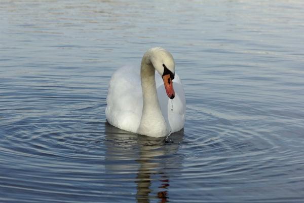 cygne tuberculé au lac daumesnil à Vincennes Paris - swan