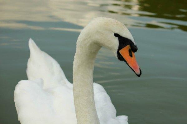 cygne tuberculé parc Floral Vincennes swan white blanc Paris 75
