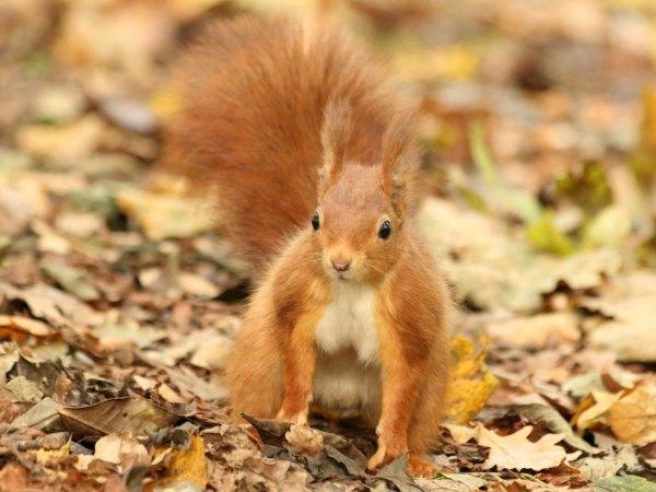 ecureuil roux Paris parc de sceaux red squirrel
