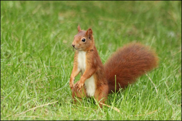 ecureuil-roux-paris-parc Floral red-squirrel