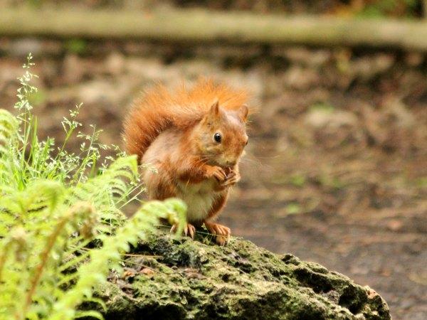 ecureuil roux red squirrel parc floral paris vincennes libre agile mammifère pin parc noisette