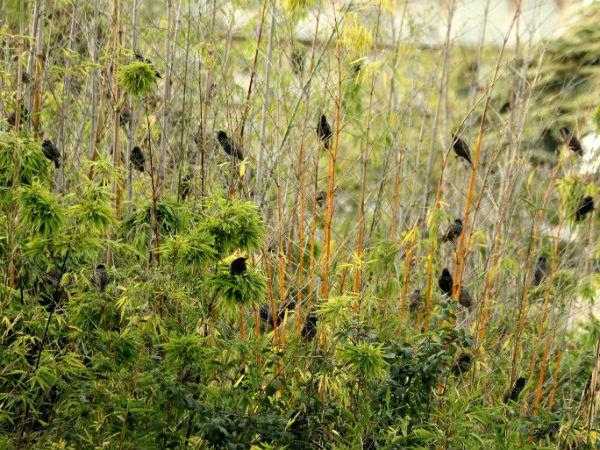 Etourneau sansonnet parc de bercy Paris starling oiseaux bird 75