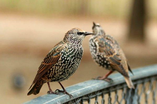 etourneau sansonnet jardin tuillerie paris starling oiseux bird libre eau plume libre