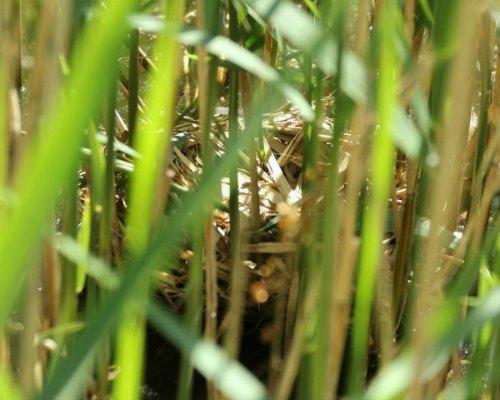 gallinule poule d eau moorhen paris parc bercy