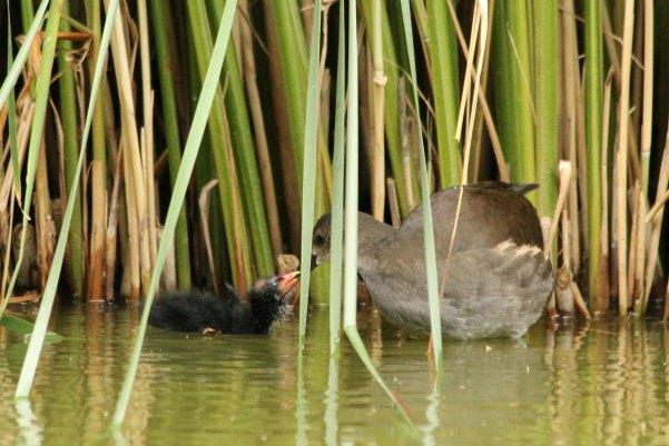 gallinule poule d`eau parc de bercy Paris moorhen eau oiseaux bird plume libre