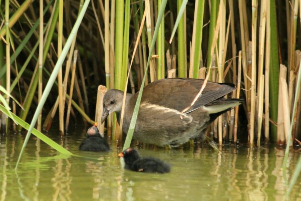 gallinule poule d`eau parc de bercy Paris moorhen oiseaux bird plume libre eau lac