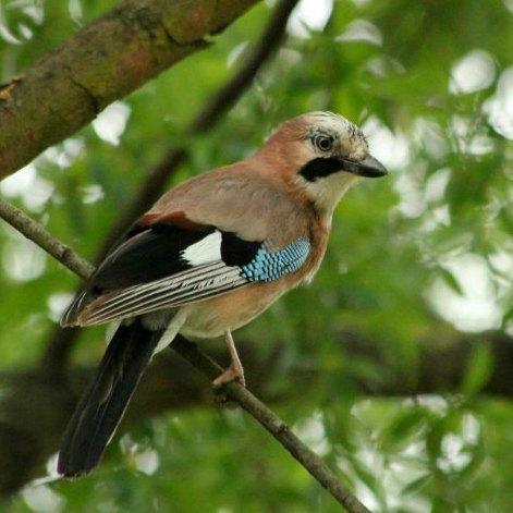 geai des chene parc de bercy Paris jay oiseaux bird plume parc