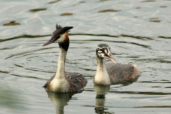 grebe huppe Paris lac de Creteil great crested grebe