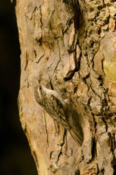 grimpereau des bois parc de bercy Paris creeper woods