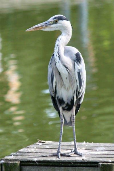 heron cendré parc de bercy Paris heron ash