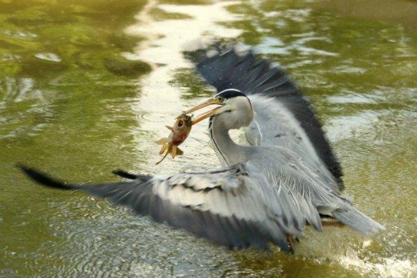 heron cendre au parc de Bercy à Paris - grey heron
