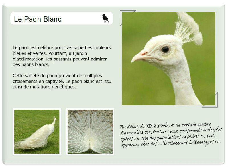 Photo d 39 un paon blanc au jardin d 39 acclimatation paris for Au jardin d acclimatation