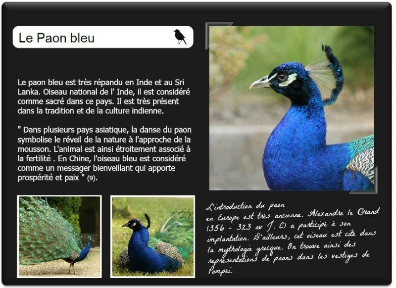 le paon-bleu-au parc-Floral-à Vincennes Paris - blue-peacock