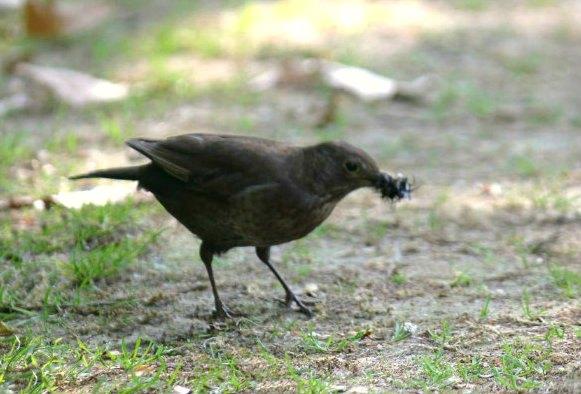 merle noir femelle au parc de bercy paris blackbird