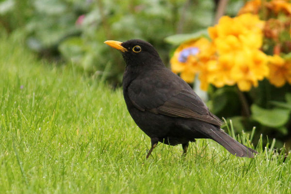 Merle noir au parc de bercy paris blackbird