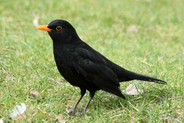 merle-noir-ville de Paris au parc de Bercy - blackbird - le site-les-oiseaux-de-Paris