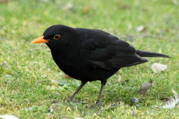 merle-noir-à Paris au parc de Bercy blackbird le site-les-oiseaux-de-Paris